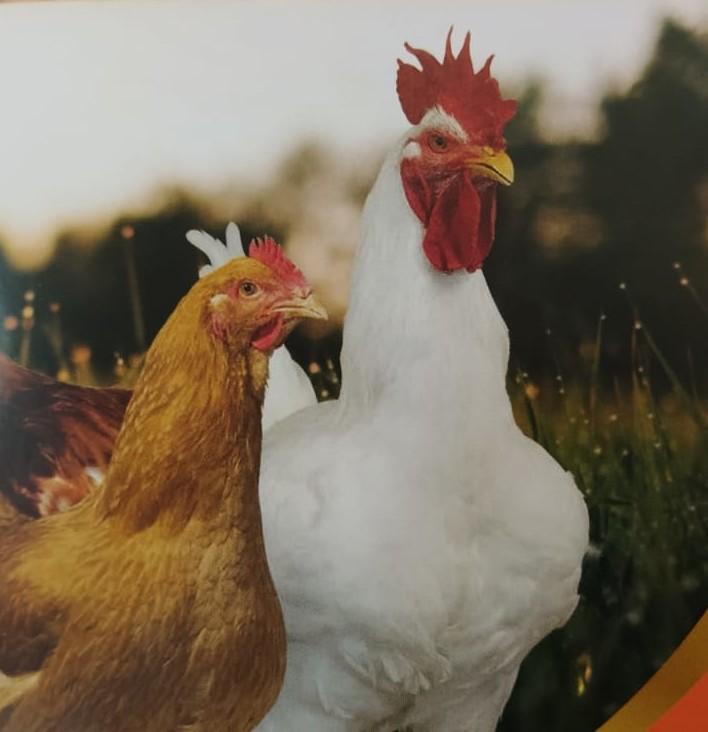 pollo nonno